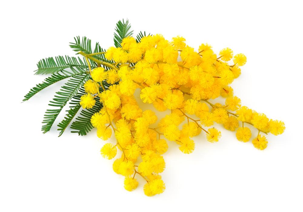 mimosa_128702969